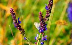 boglárkalepke vadvirág lepke