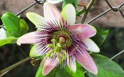 király orchidea