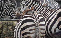 Zebrák az Állatkertben