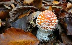levél ősz galóca gomba