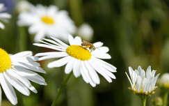 rovar margaréta méh