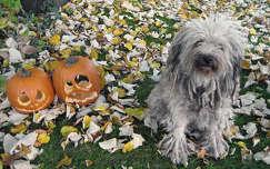 kutya halloween tök ősz