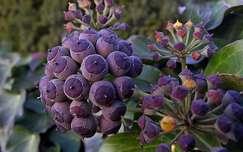 lila, bogyó, borostyán, ősz