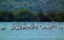 Flamingók a lagúnában, Lefkada, Görögország