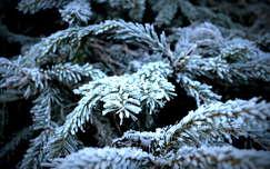 tél fenyő örökzöld