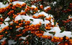 tél, hó, bokor, magarország