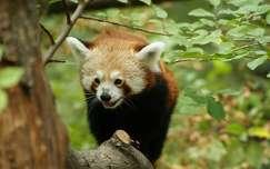 Kínai vörös panda. Szegedi vadaspark.