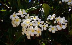 Plumeria,az igazi Hawaii-i virág,Honolulu,Usa