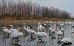 Hattyúk a Ferenc-csatornán, Dávod, Magyarország