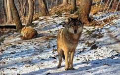 farkas tél