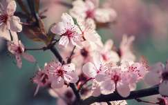 Cseresznyevir�gz�s