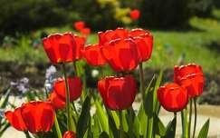 Vir�gz� tulip�nok