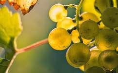 Világító szőlőszemek