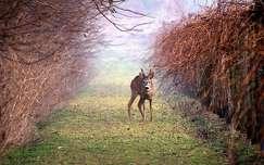 szarvas és őz