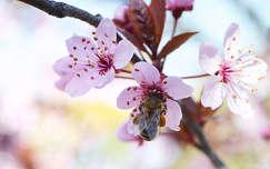 Tavaszv�r� (m�h, tavasz, szilvafa, vir�g)