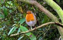 madár vörösbegy