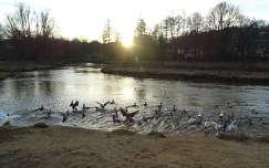 vizimadár kacsa fény folyó