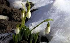 Hóvirág hóban