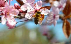 Méh, szilvafa, tavasz, tettenérés, makró