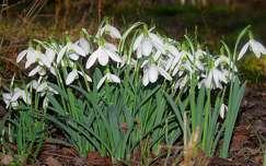 tavaszi virág vadvirág hóvirág