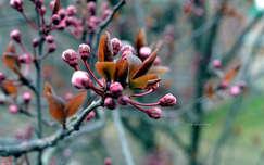 Kora tavasz, vérszilvafa, virágzás, színek, makró
