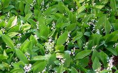 Gyöngyvirágok a szegedi füvészkertben