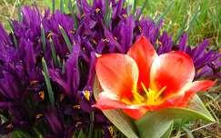 Írisz és tulipán