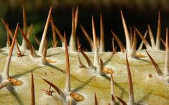 Kaktusz, vácrátóti arborétum