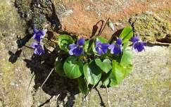 ibolya, szikla, kék, tavasz