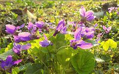 tavaszi virág vadvirág ibolya tavasz