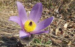 Tátogó kökörcsin, tavasz vadvirág, magyarország
