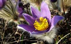 Tátogó kökörcsin, tavasz, vadvirág, magyarország