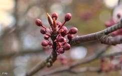 Tavasz, szilvafa, virágzás, fény, bokeh