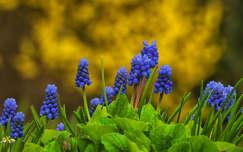 tavaszi virág fürtösgyöngyike tavasz