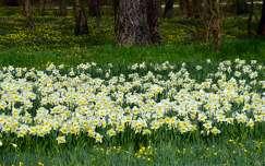 Alcsútdoboz, nárcisz-virágzás