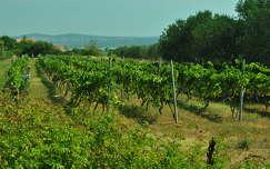 Vransko jezero környéke, szőlő, Dalmácia