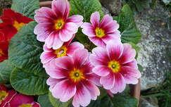 Rózsaszín Primula
