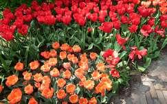 Keukenhof virágai, Hollandia