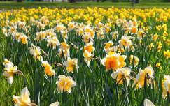 Nárciszok, tavasz