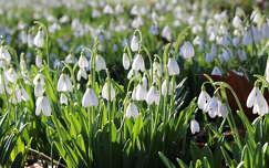 tavasz tavaszi virág vadvirág hóvirág