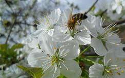 cseresznyefa virágon méhecsre
