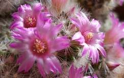 Kaktusz virágözön