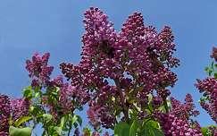 tavasz, orgona, virág, magyarország