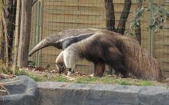 Hangyász a Budapesti Állatkertben