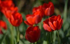 tavaszi virág tulipán