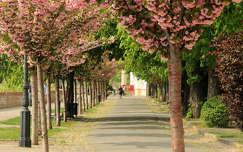 út virágzó fa fasor budapest tavasz magyarország