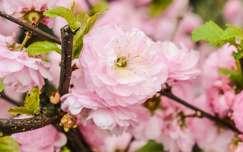 Bazsarózsa (virágzás, tavasz)