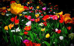 tavaszi vir�g tulip�n
