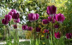 F�v�szkert, tulip�n