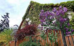 ház kerítés tavasz orgona